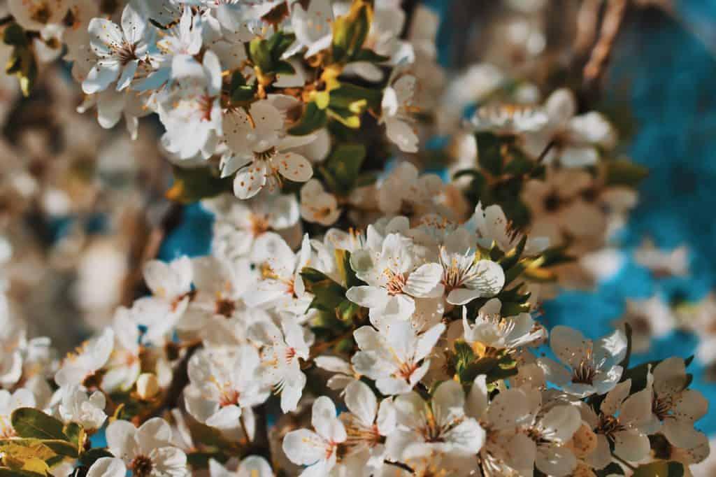 Wiosna Kwiaty Drzewa Śliwski Mirabelki Tamron 90 mm macro 1024x682 - Wiosenny portret z kwiatami